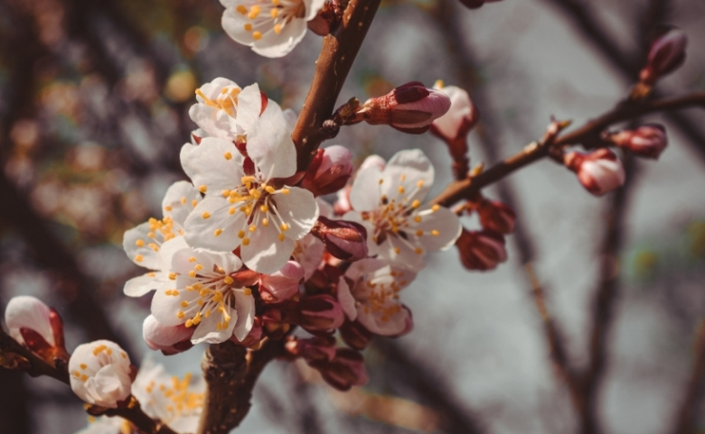 A close-up photo of a budding tree with white flowers.